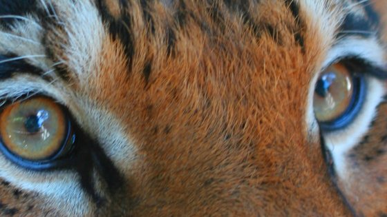 A Malaysian tiger's eyes by Chris Sheperd of TRAFFIC