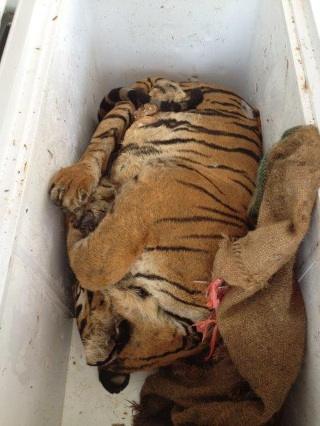 Part tiger carcass seized in Thailand in 2012. Image by P.Tansom-Traffic