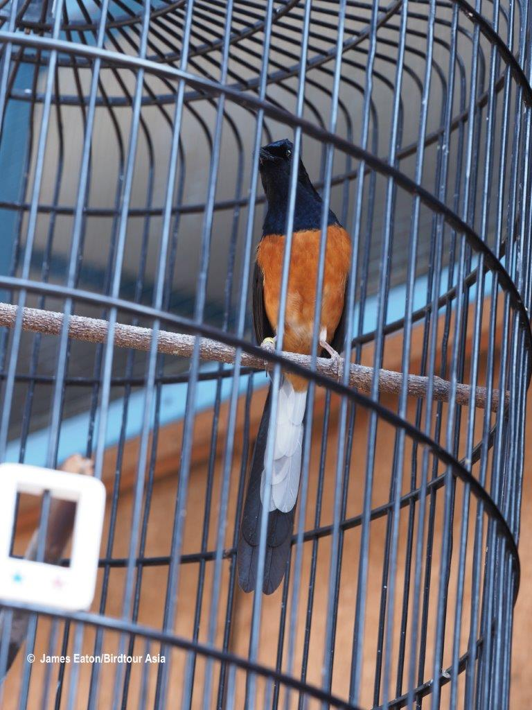 A caged White-rumped shama in a market in Indonesia, image and copyright 2019 James Eaton.