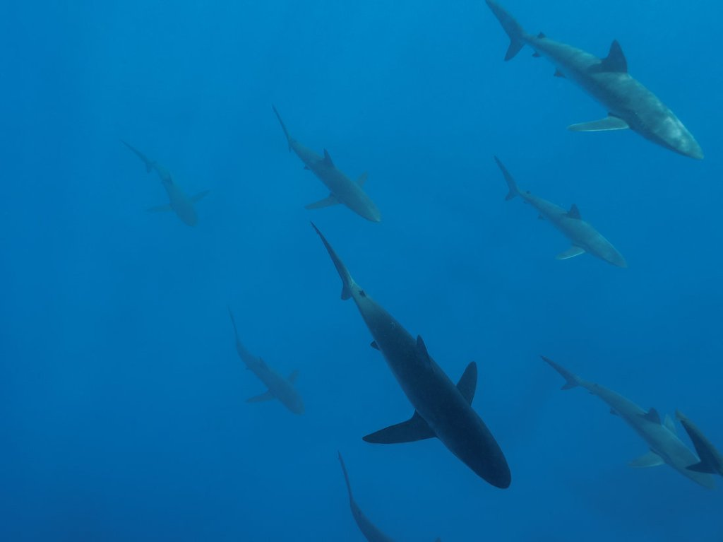 School of Silky sharks (Carcharhinus falciformis) swimming near Wolf Island, Galapagos Islands. Photo: Daniel Versteeg / WWF