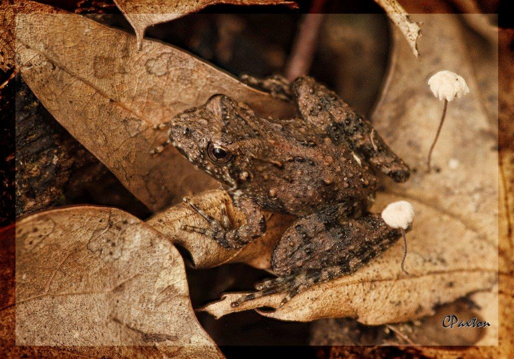 An Autumnal scene at Black Bayou Lake NWR, a Blanchard's Cricket Frog and tiny pin-wheel fungi.