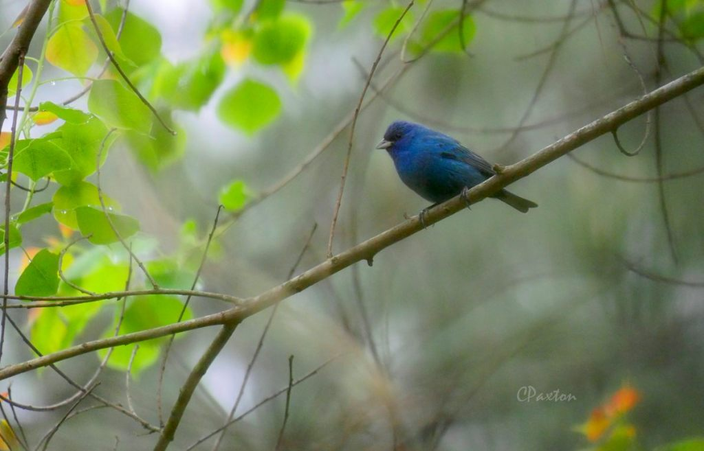 An Indigo Bunting perched in a tree. This kind of bird could be threatened with extinction from Louisiana by 3 degrees of climate change according to Audubon's new report.