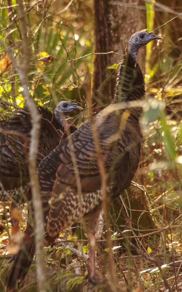 A pair of Tom turkeys in the woods by the Tensas River in northeastern Louisiana.