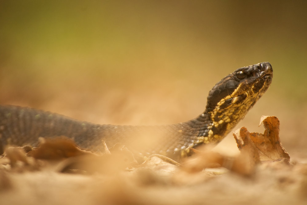 Calm and beautiful, a Cottonmouth pit viper (Agkistrodon piscivorous) features in Life in The Leaf Litter.