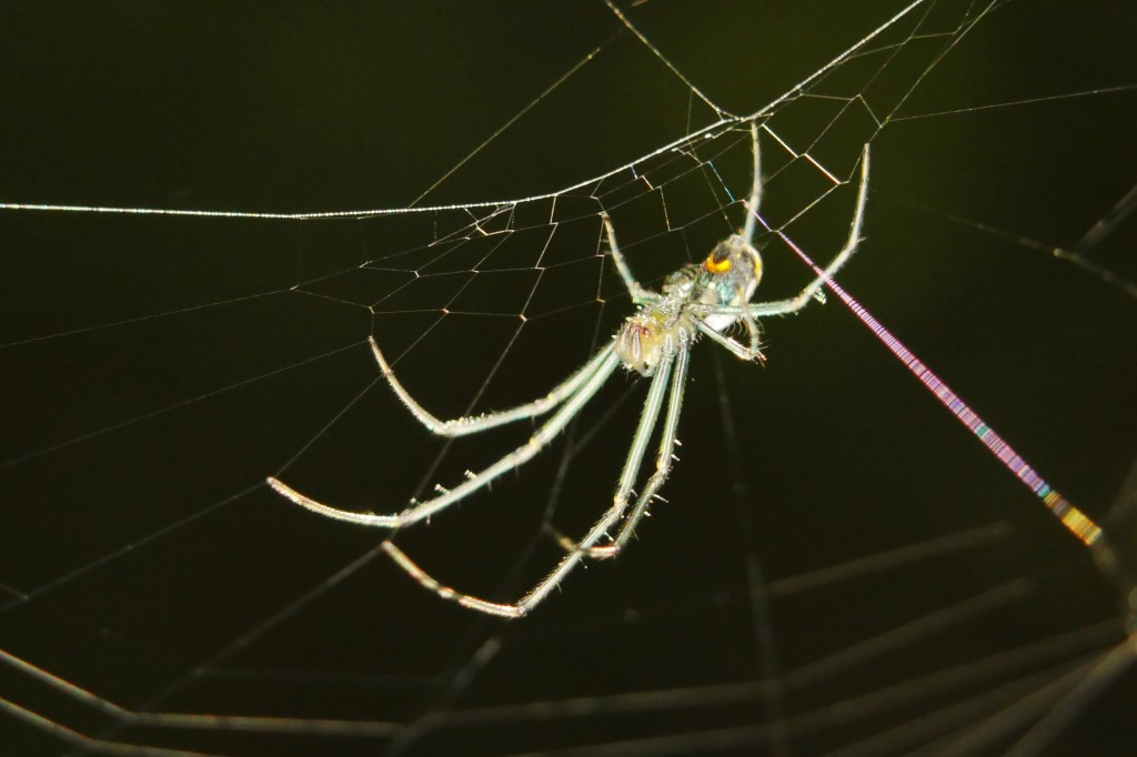 Leucauge spider waits for its breakfast and I nearly missed wearing it and its web.