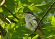 I love catching a glimpse of the yellow-billed cuckoo and calling it [Gandalf] stormcrow.