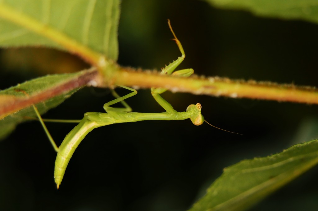 A praying mantis! A sweet little surprise on the underside of a leaf swayed and hoped I would go away. I didn't stay long. Nice to see this critter though!