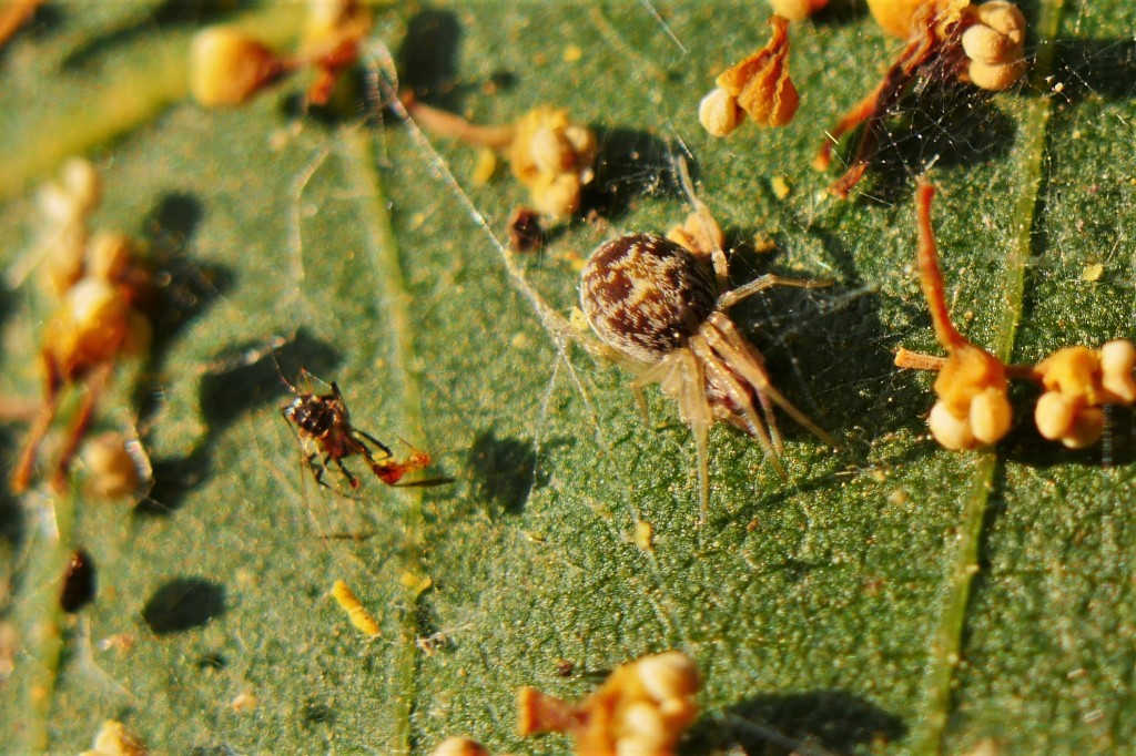 The upper surface of a leaf was covered in a web--could this be Ailanthus? It was certainly a nice home for this couple of spiders.