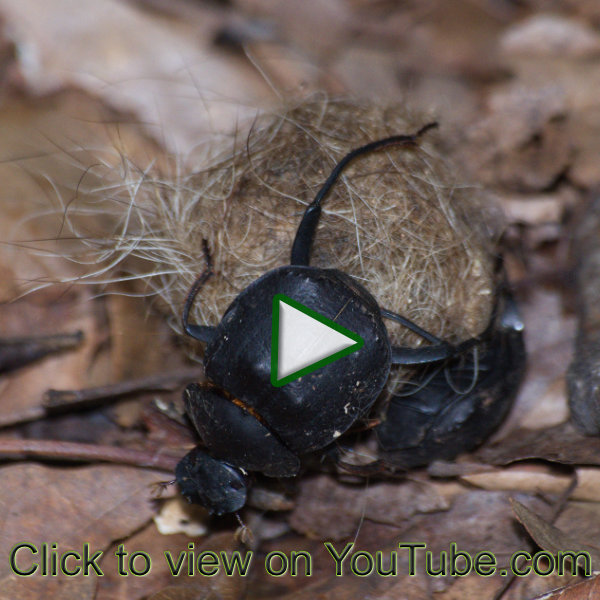 Dung beetles working hard to push their dung ball. Click to view video on YouTube