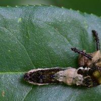 Creature Feature: The Viceroy Caterpillar, a Bird Poop Mimic