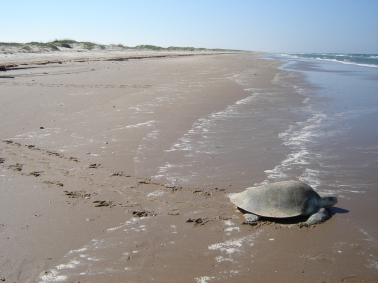 Kemp's Ridley female returning to the Gulf after laying. National Park Service image and copyright.