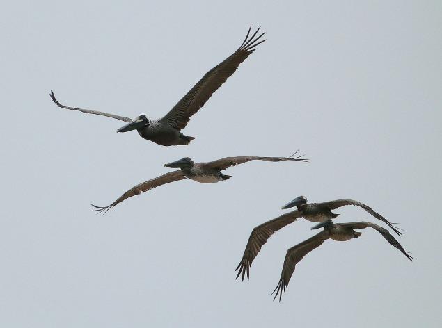 pelicansoverthegulfforviewer