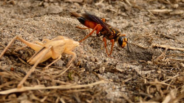 Digger Wasp beside prey