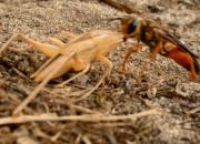 A Golden Digger Wasp drags its prey to its brood burrow.