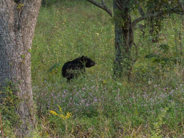 Juvenile Black Bear in a Pecan orchard
