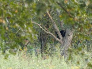 Louisiana Black Bear juvenile in Pecan tree off Highway 80.