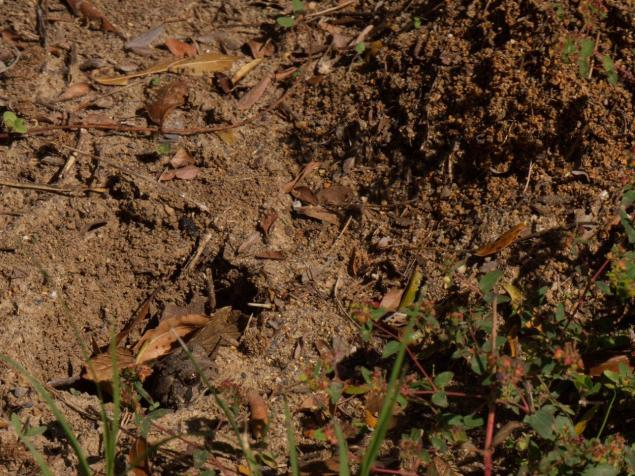 A Fowler's Toad in a hole beside an ant heap with just its head projecting out to take passing ants.
