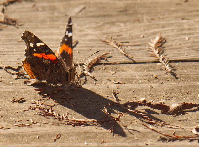 Red Admiral butterfly at the observation tower