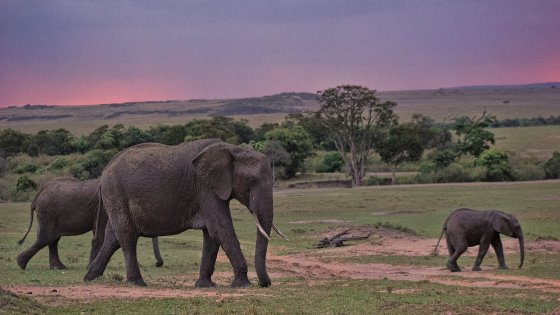 African elephants on the Maasai Mara. Paxton images photo and copyright.